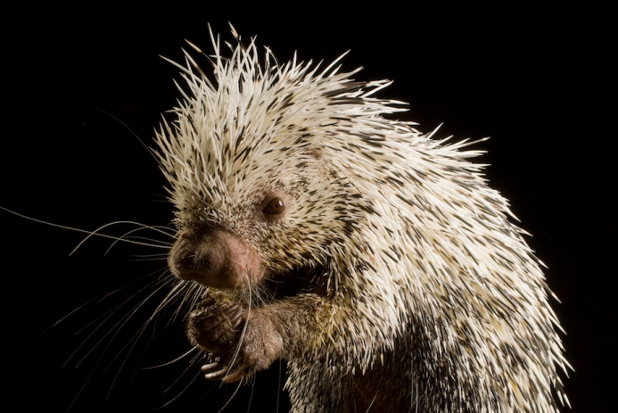 A Prehensile-Tailed Porcupine poses for a photo at the Oregon Zoo.